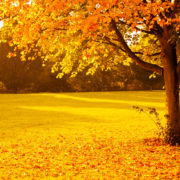 Yellow and Brown Tone Fall Scenery, Big Tree will orange leaves