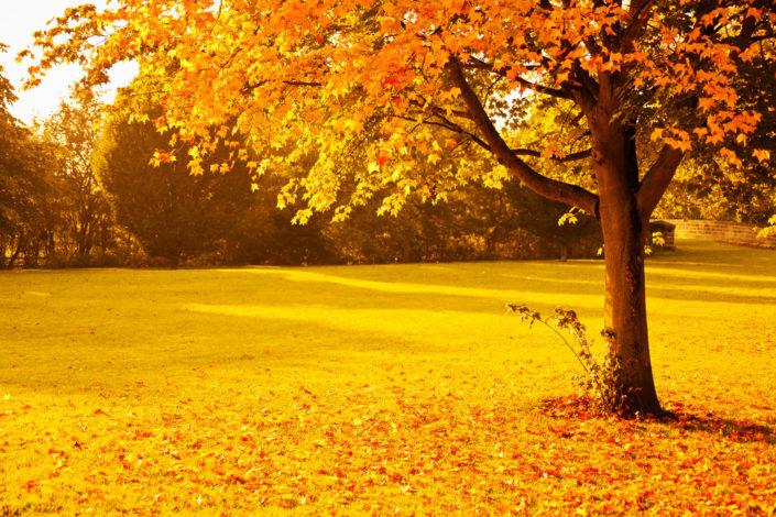 Yellow and Brown Tone Fall Scenery, Big Tree will orange leaves